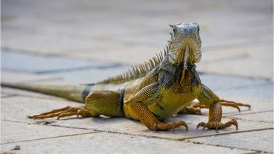 Crash caused by Iguana, firefighter and daughter injured